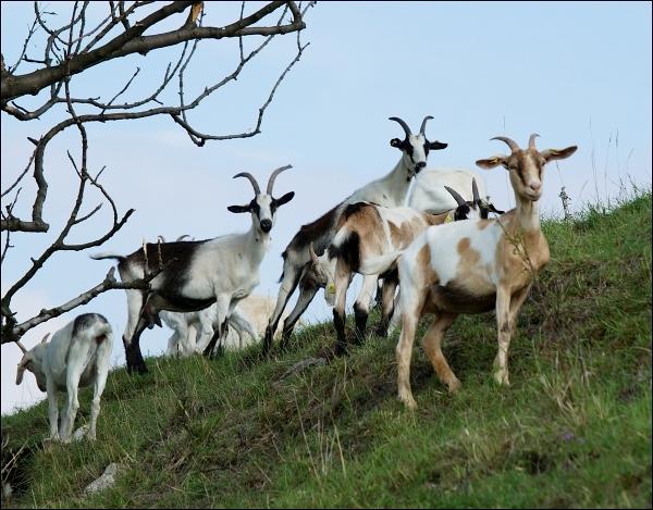 Schwellenburg - Ziegen